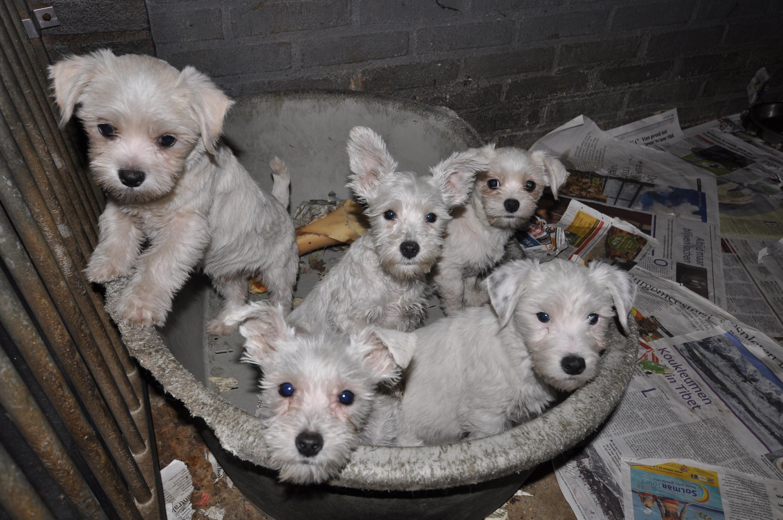Veel puppy's lopen infecties op door de slechte omstandigheden. Foto: Dierenbescherming