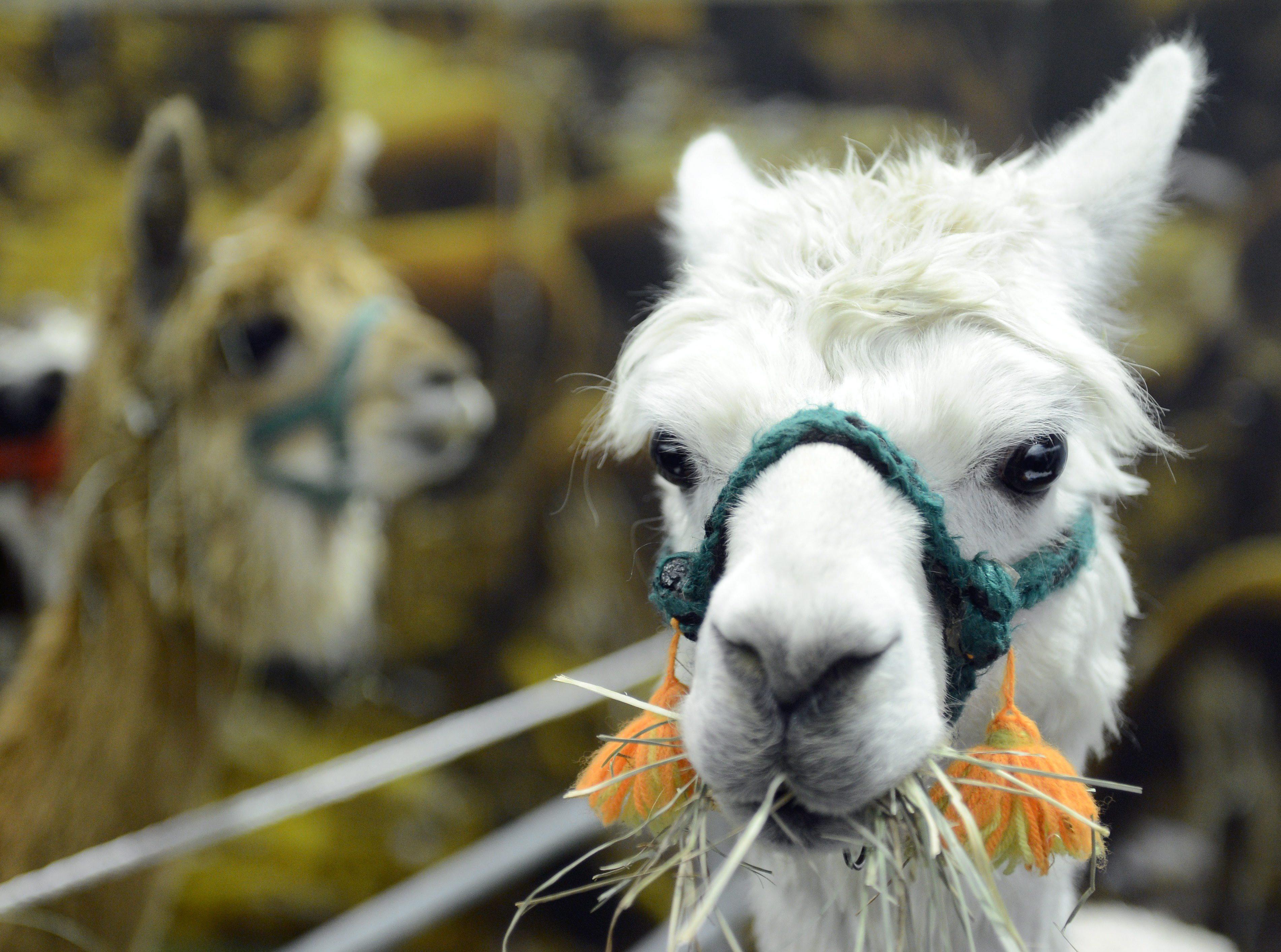 Alpaca's spiegelen jouw gedrag. Foto: ANP
