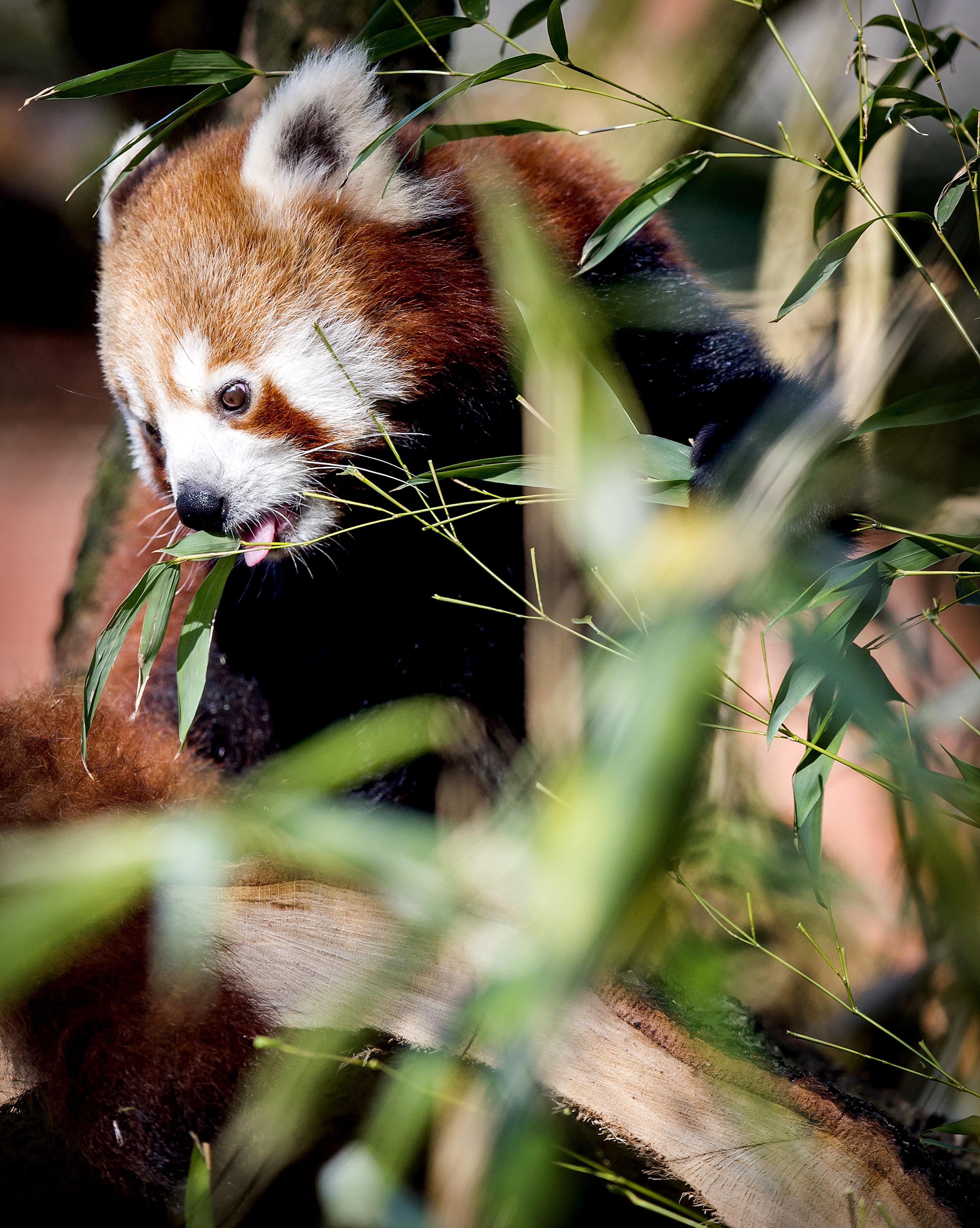 Een kleine panda. Foto: ANP