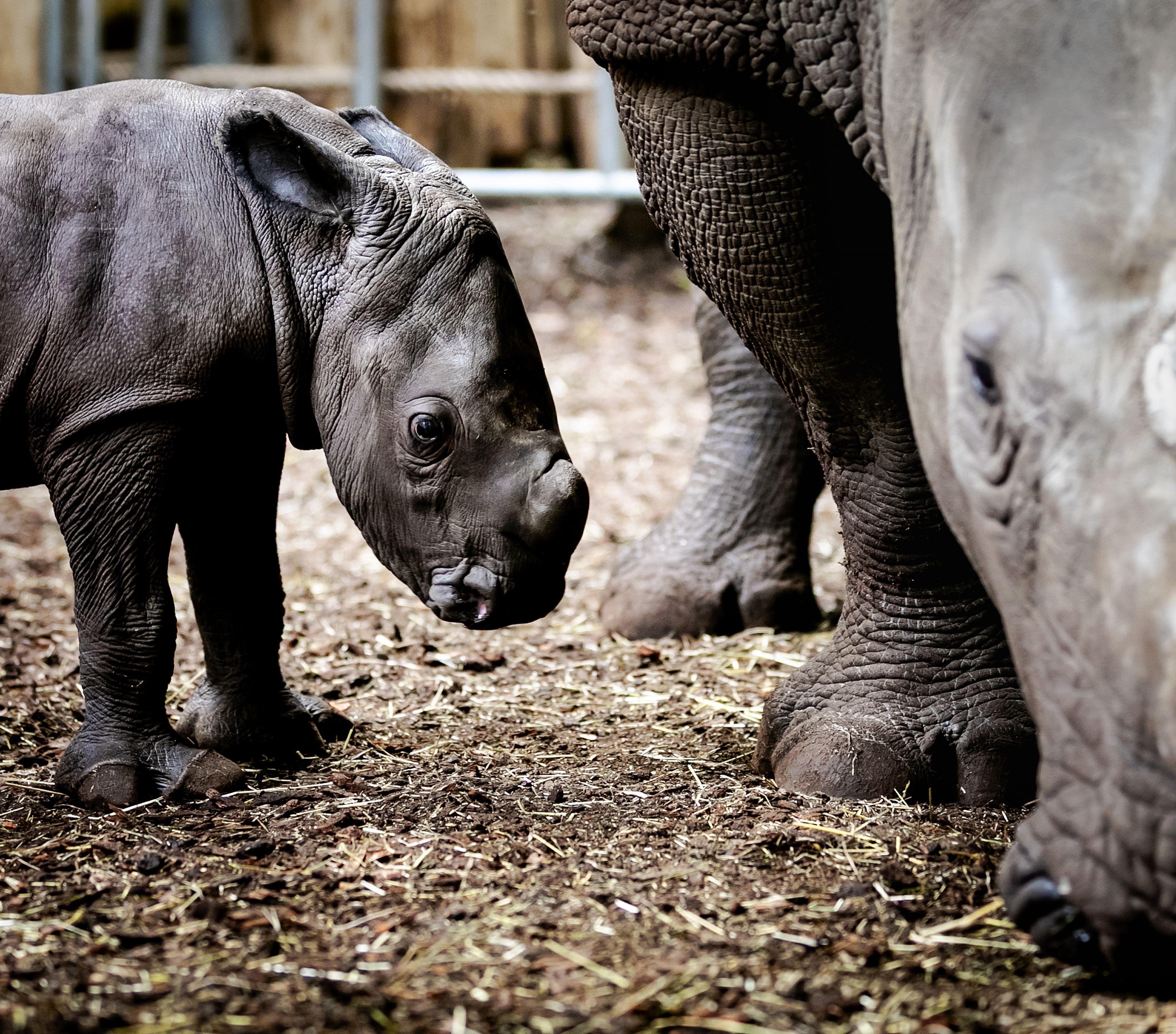 Dit is het neushoorntje van Burgers Zoo