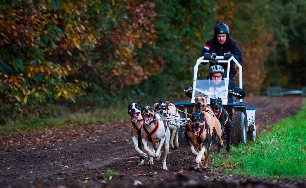 Sledehondenraces in de Brabantse bossen