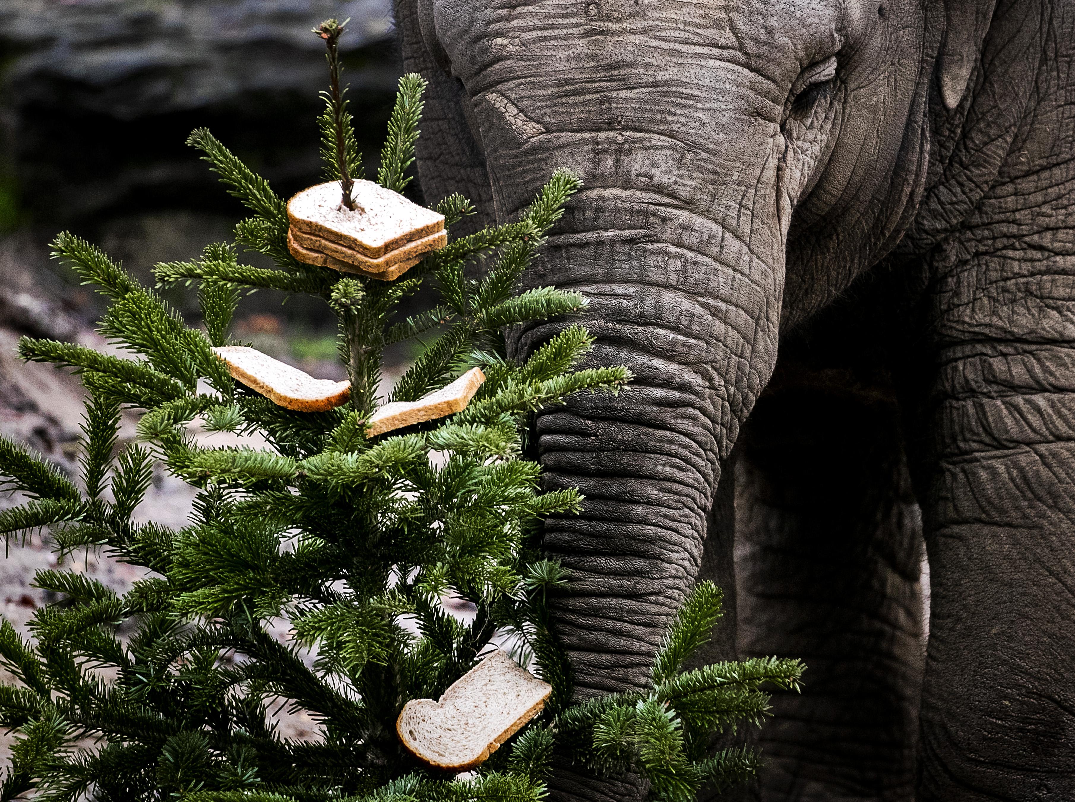 Olifanten blij met tweedehands kerstbomen