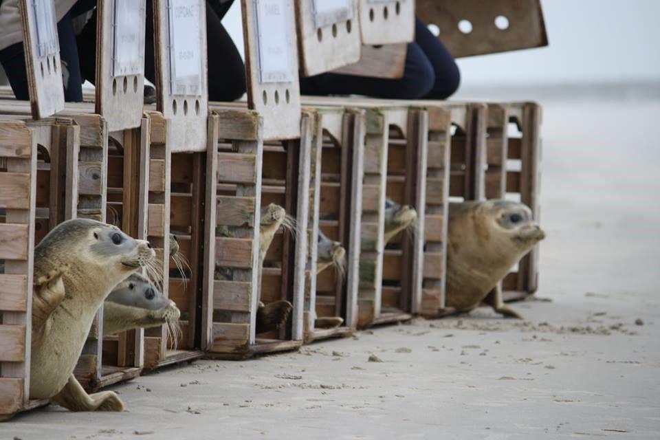 een foto van zeehonden die worden vrijgelaten