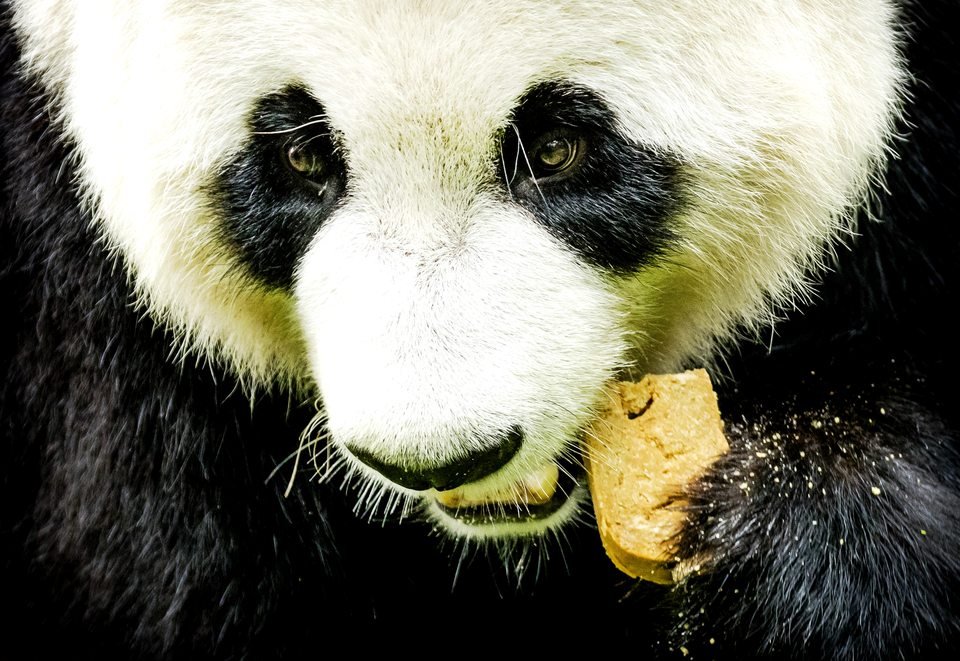 Hoera! Pandaatje geboren in Ouwehands Dierenpark