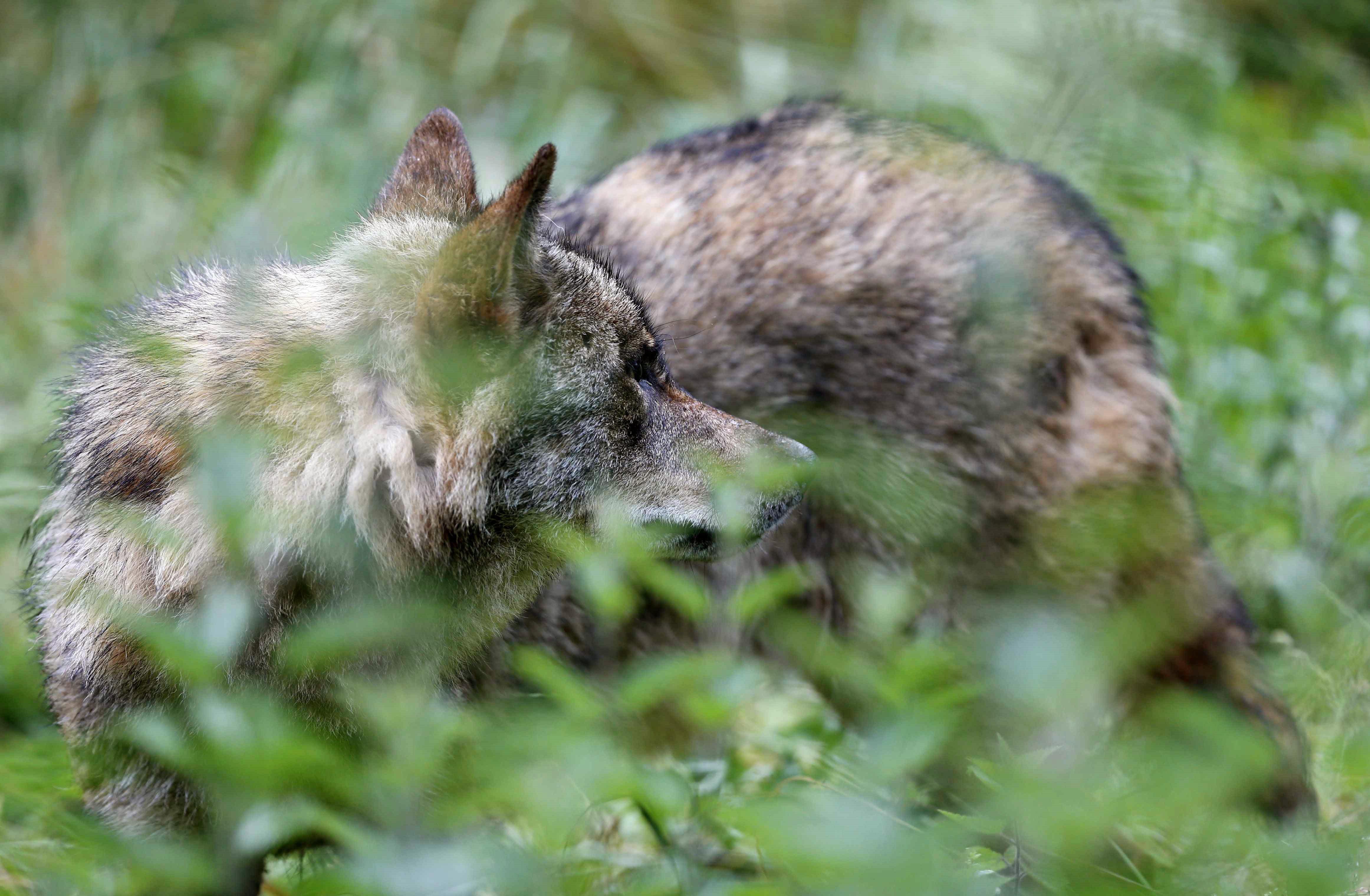 Een foto van een wolf liggend in het gras