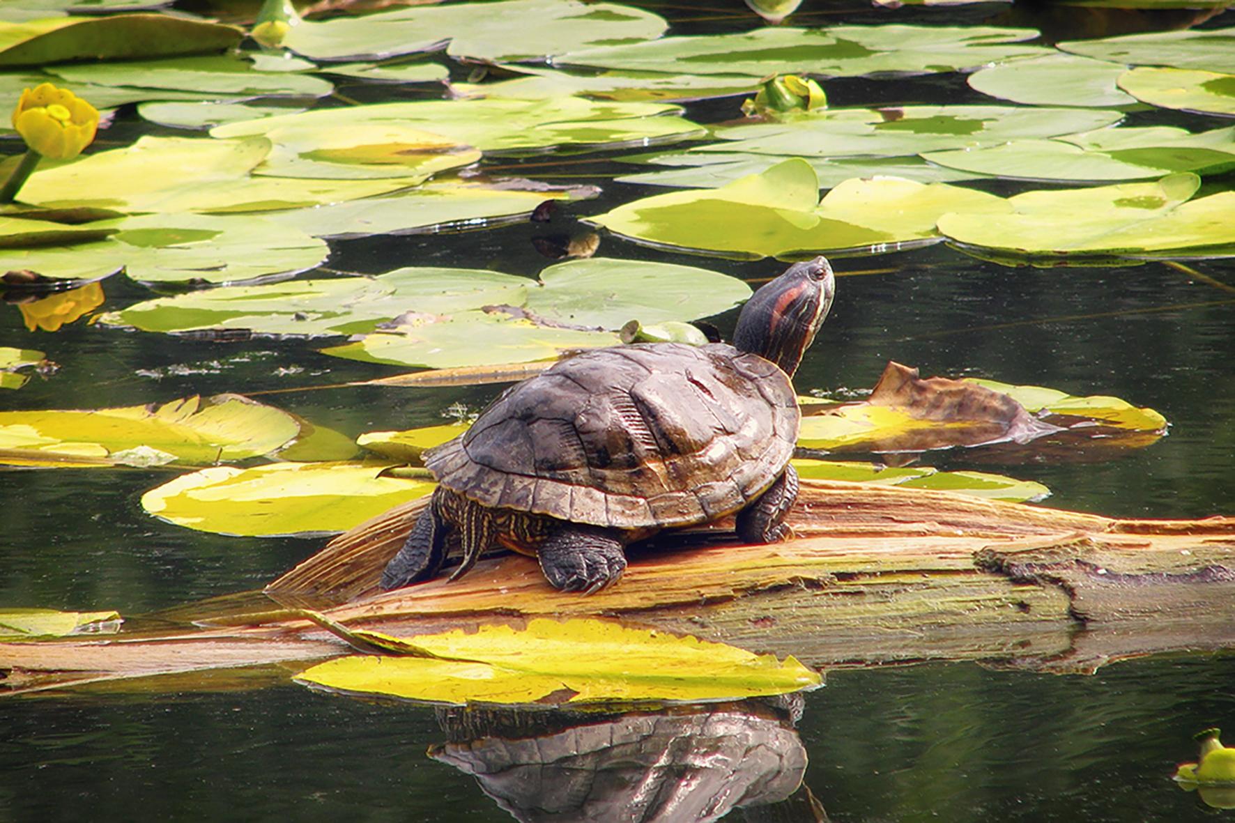 Op deze foto zie je een roodwangschildpad.
