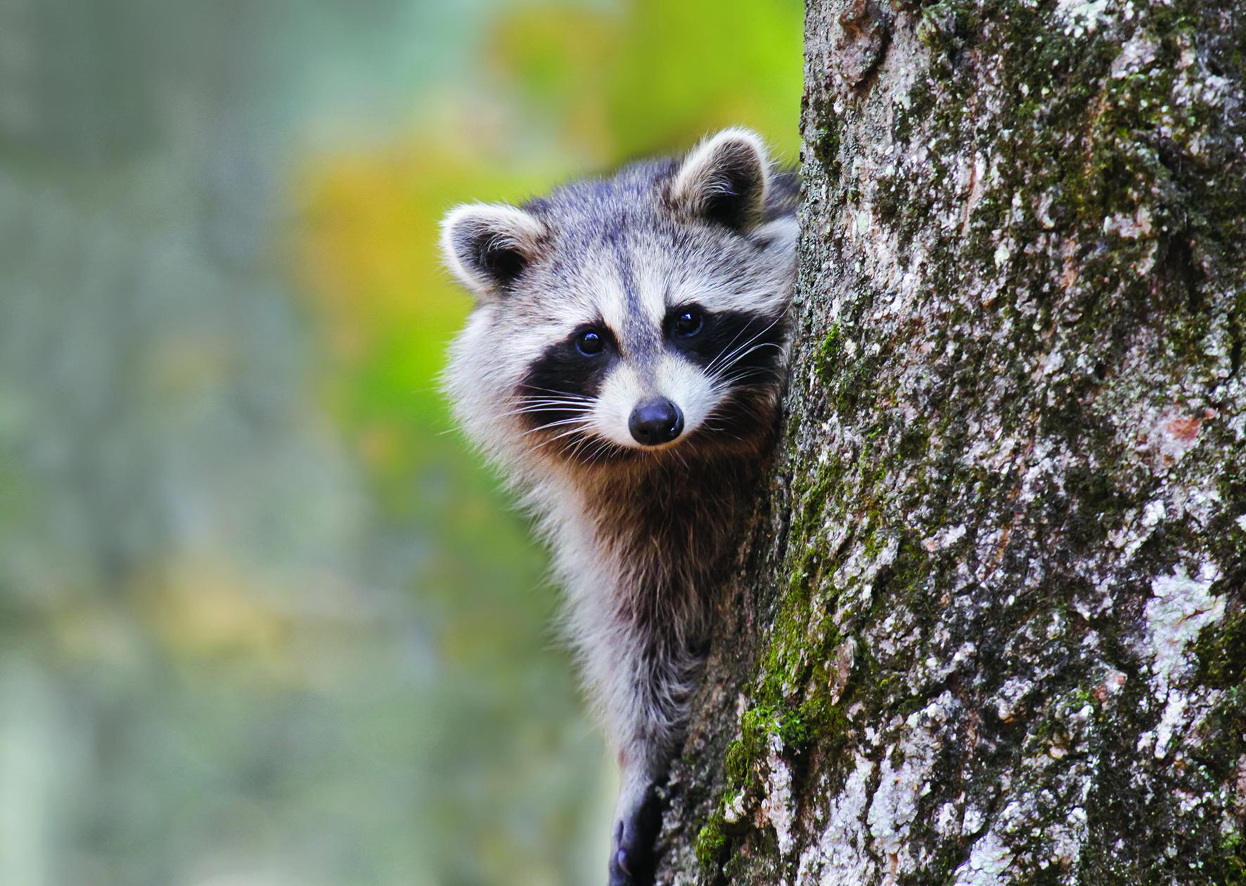Op deze foto zie je een wasbeer.