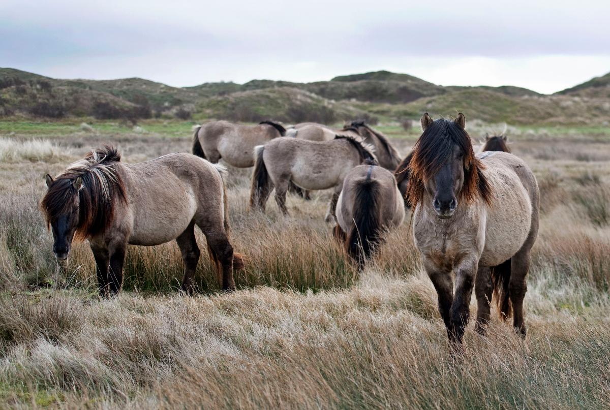 wandelen, nationaal park duinen van texel, wandelroutes, slufter, konikpaarden