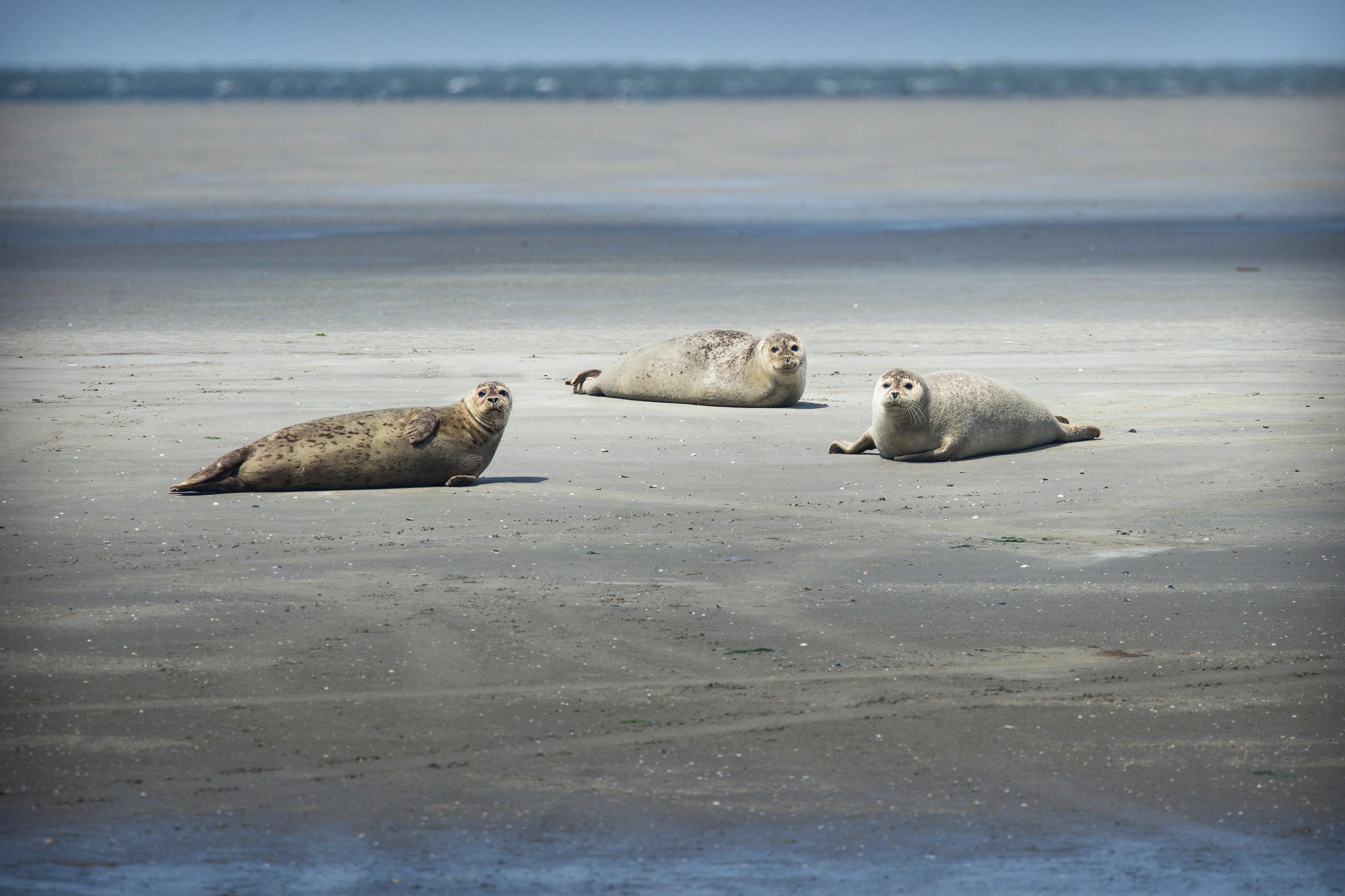 wandelen, nederland, hiken in holland, wandelroutes, schiermonnikoog, nationaal park, zeehonden