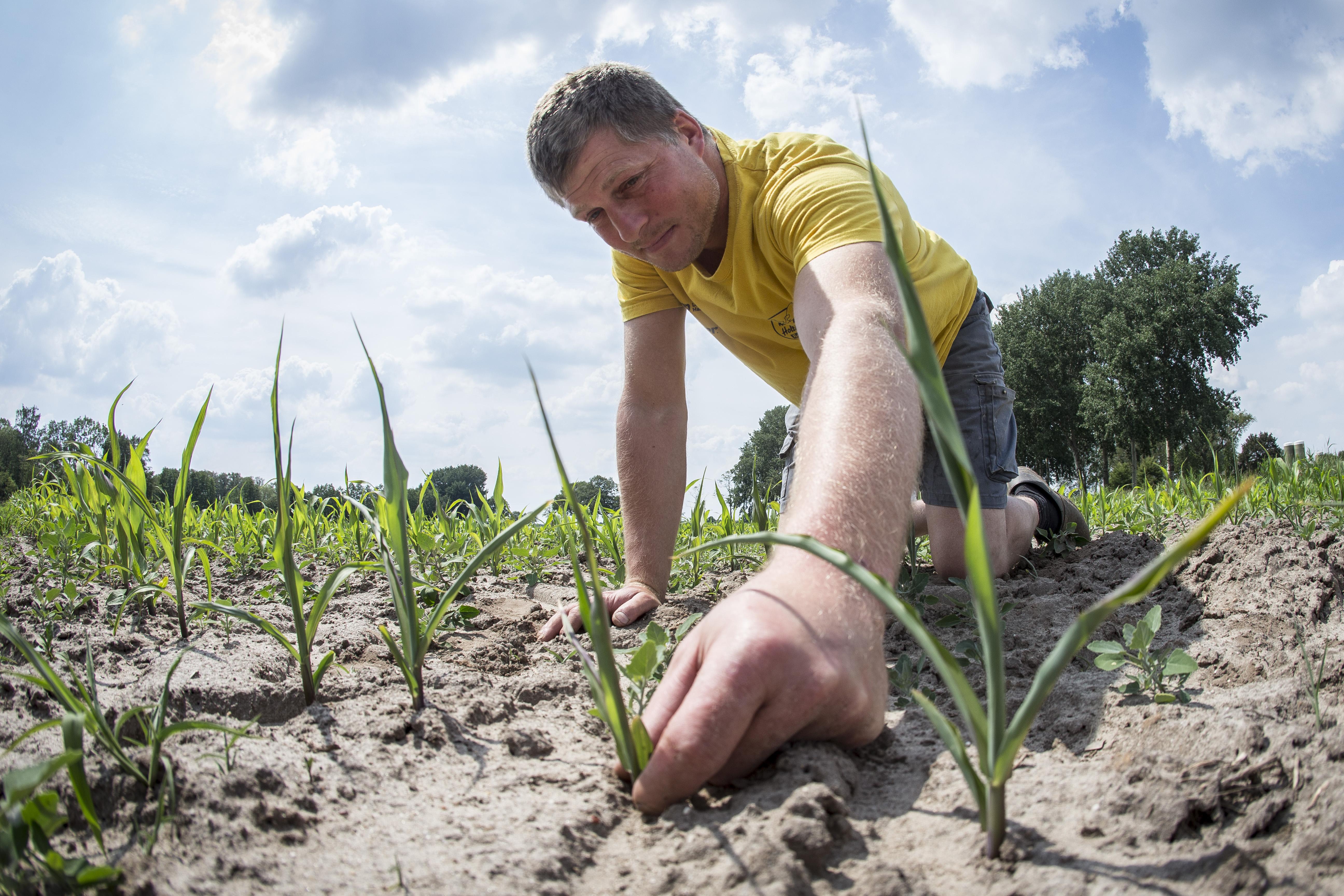 Een foto van een akkerbouwer die mais plant in droge grond