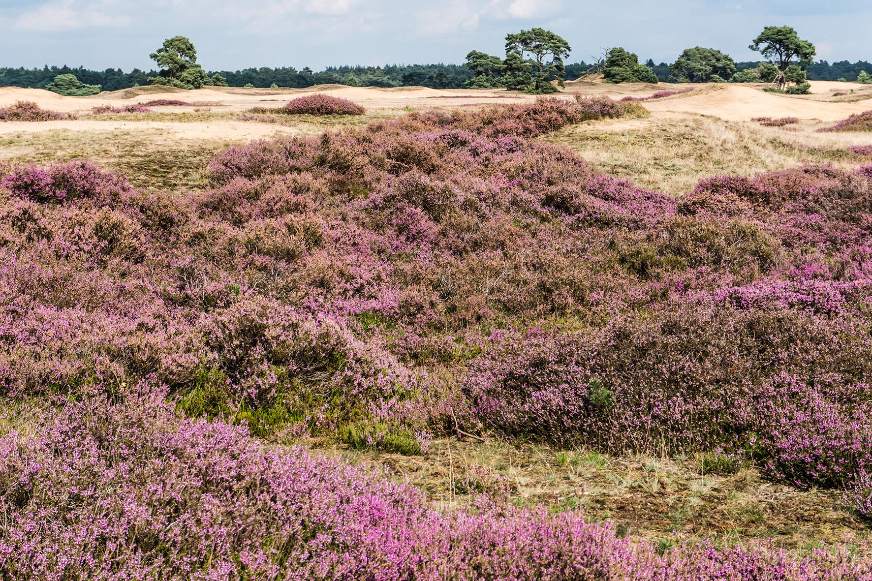 Op deze foto zie je de prachtige paarse heid in National Park 'Hoge Veluwe'