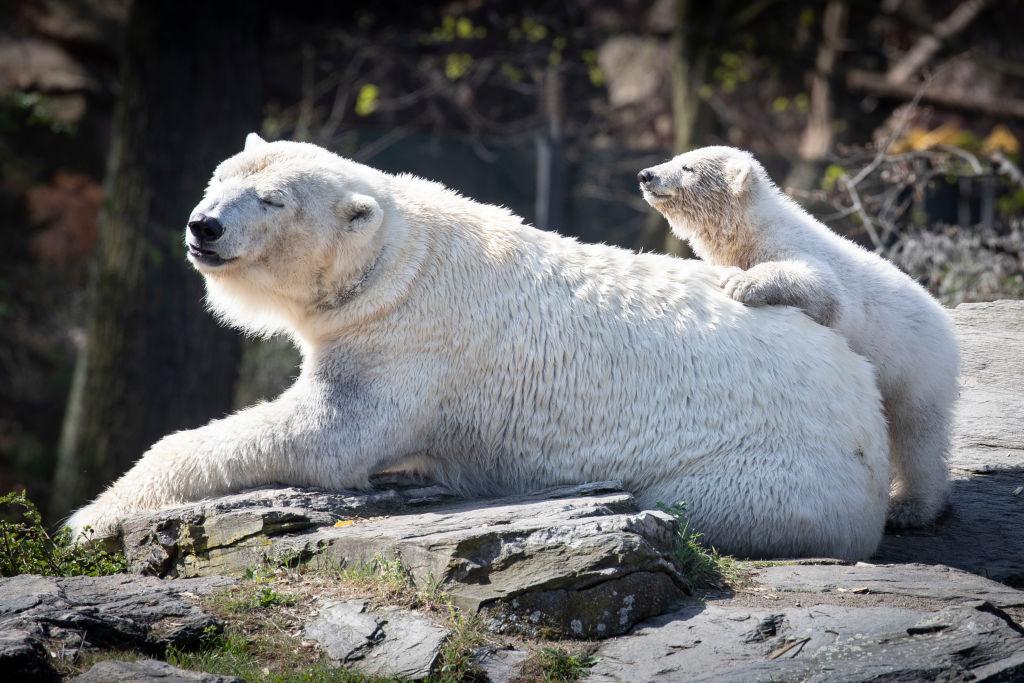 Een foto van een ijsbeer met haar jong op de rug