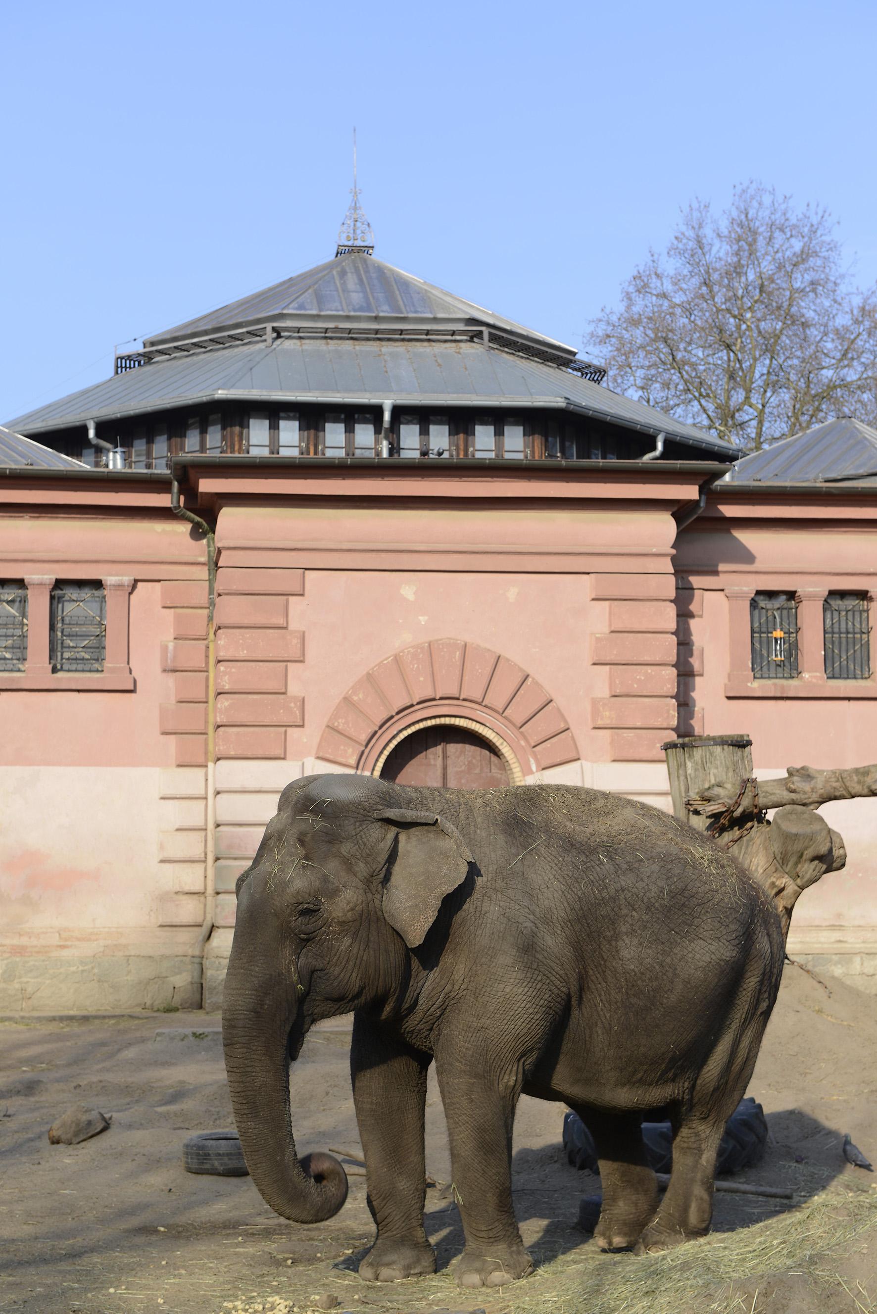 Olifanten in dierentuin van Warschau krijgt cannabis