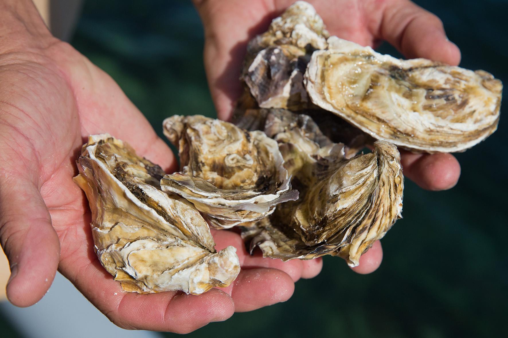 Water haven Texel troebel door klaarkomende oesters