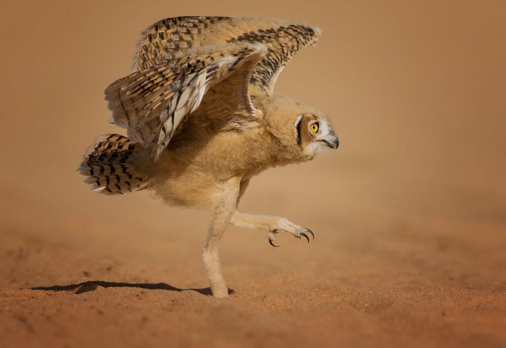 'How can I fly' © Nader Alshammari  / Comedy Wildlife Photo Awards 2020